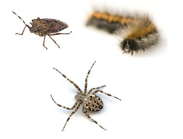 insectes saisonniers